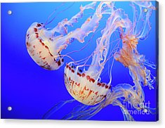 Jellyfish 9 Acrylic Print by Bob Christopher