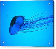 Jellyfish  Acrylic Print by Elizabeth Fredette