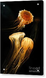 Jellyfish Trio Floating Against A Black Acrylic Print