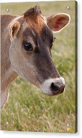 Jersey Cow Portrait Acrylic Print