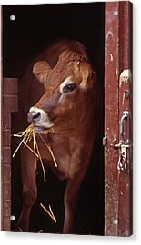 Jersey Cow Acrylic Print by Skip Willits
