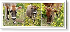 Jersey Fields Of Gold Acrylic Print