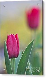 Jerusalem Tulip 2 Acrylic Print by Joel Loftus