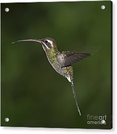 Jewel On Wings.. Acrylic Print by Nina Stavlund