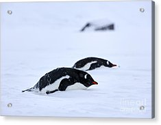 Joe Fox Fine Art - Gentoo Penguins Pygoscelis Papua Lying Down In A Blizzard At Whaler's Bay Antarctica Acrylic Print