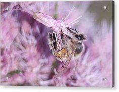 Joe Pye And The Bee Acrylic Print