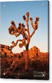 Acrylic Print featuring the photograph Joshua Tree At Sunset by Mae Wertz