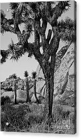 Joshua-tree Babies Acrylic Print by Mae Wertz