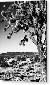 Joshua Tree Bw Acrylic Print by John Rizzuto