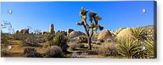 Joshua Tree National Park, Spring Acrylic Print by Panoramic Images