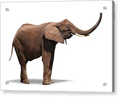 Joyful Elephant Isolated On White Acrylic Print