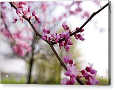 Judas Tree Blossom Acrylic Print by John Holloway