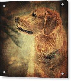 Golden Retriever Acrylic Print by Taylan Apukovska