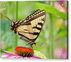 July Swallowtail Acrylic Print