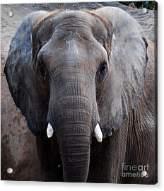 Acrylic Print featuring the photograph Jumbo by Nancy Bradley