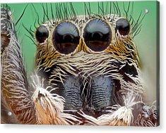 Jumping Spider Acrylic Print by Nicolas Reusens