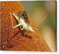 Jumping Spider With Cricket Acrylic Print by Brian Magnier