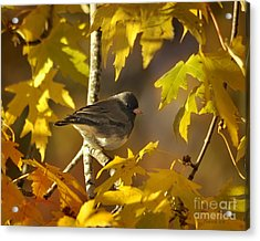 Junco In Morning Light Acrylic Print
