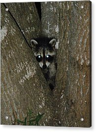 Baby Raccoon And Jesus Acrylic Print