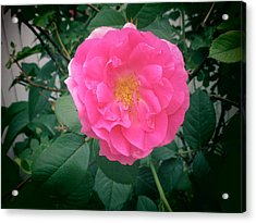 June Rose I Acrylic Print