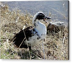 Acrylic Print featuring the photograph Just A Duck by Linda Cox