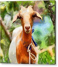 Just A Goat Acrylic Print