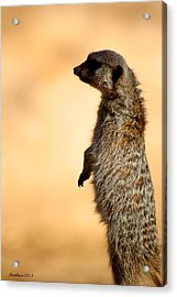 Just A Meerkat Acrylic Print by Dick Botkin