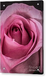 Just A Rose Acrylic Print by Mitch Shindelbower