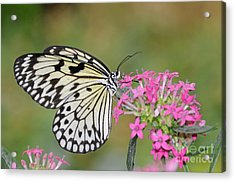 Just A Sip - White Tree Nymph Acrylic Print