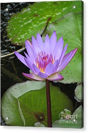 Just A Water Lily  Acrylic Print