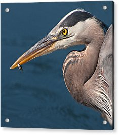 Just An Appetizer For A Great Blue Heron Acrylic Print by Kasandra Sproson
