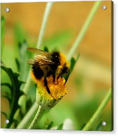 Just Being A Bee Acrylic Print by Sharon Lisa Clarke