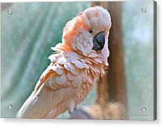 Just Call Me Fluffy Acrylic Print by Tara Potts
