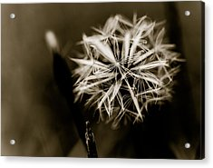 Just Dandy Dandelion Acrylic Print by Isabel Laurent