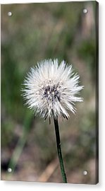 Just Dandy Acrylic Print by Evelyn Patrick