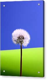 Acrylic Print featuring the photograph Just Dandy by Paula Brown