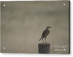 Western Meadowlark On A Fence Post Acrylic Print