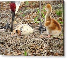 Just Hatching Acrylic Print by Zina Stromberg