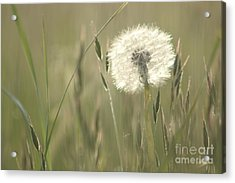 Just Like Cotton Wool Acrylic Print