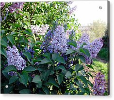 Just Lilac Acrylic Print by Dorothy Berry-Lound