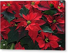 Acrylic Print featuring the photograph Just Poinsettia's by Geraldine Alexander