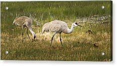 Just Poking Around Acrylic Print by Jean Noren