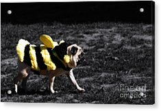 Just Pugging Along At The Speed Of Halloween  Acrylic Print by Steven Digman