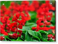 Just Red Acrylic Print by Kaye Menner