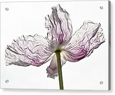 Just Unfolding Acrylic Print