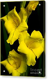 Just Yellow Acrylic Print by Timothy J Berndt
