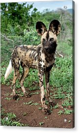Juvenile African Hunting Dog Acrylic Print by Tony Camacho/science Photo Library