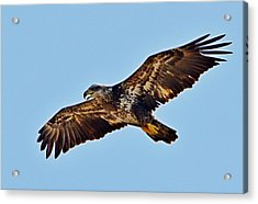 Juvenile Bald Eagle In Flight Close Up Acrylic Print by Jeff at JSJ Photography