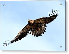 Juvenile Bald Eagle Acrylic Print by Mike Farslow
