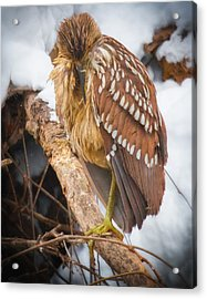 Juvenile Black Crowned Night Heron Acrylic Print